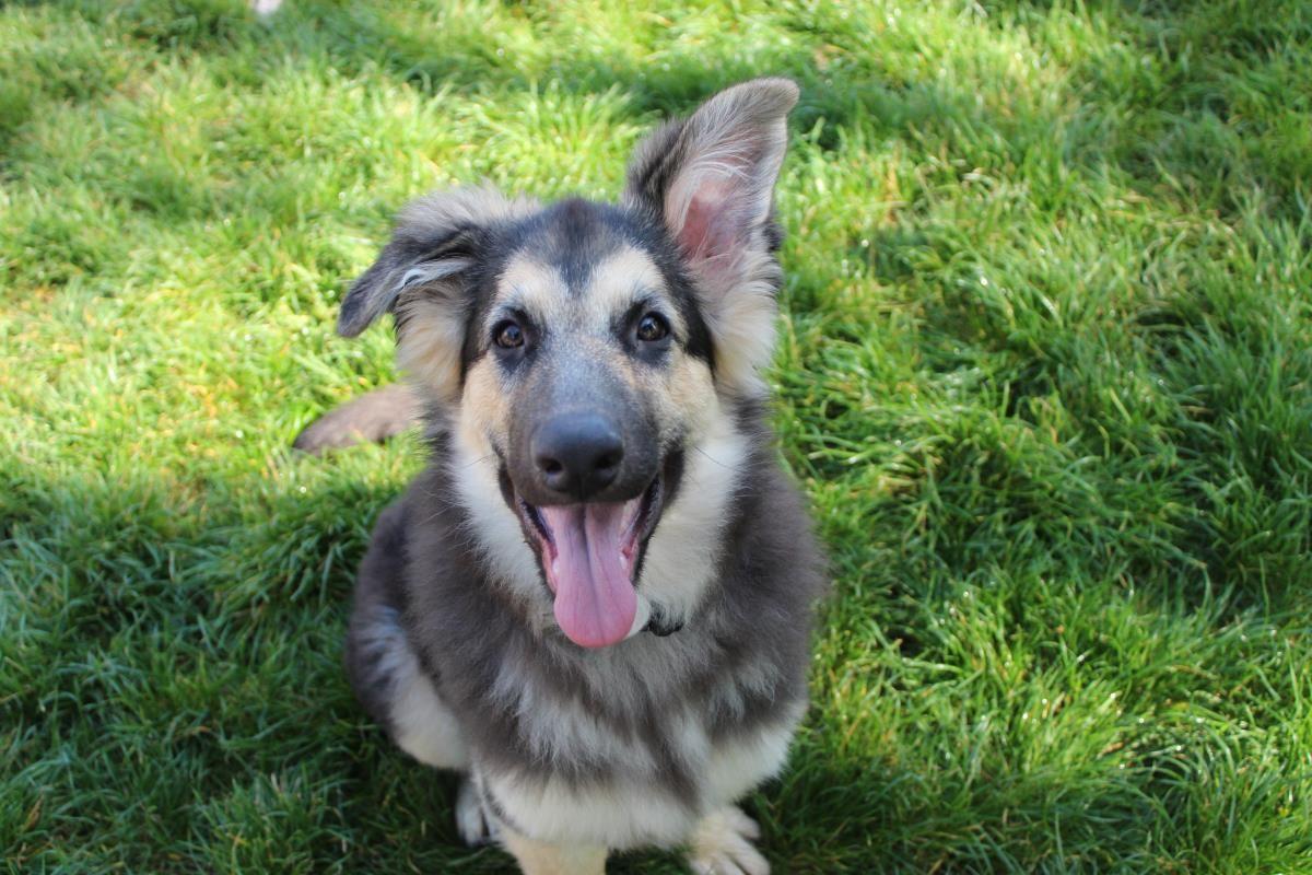 Adopt A Dog Aura German Shepherd Dog Gsd Alsatian Dogs Trust Dogs Dog Adoption Dogs Trust