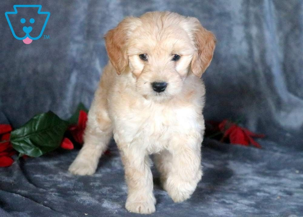 Nala Goldendoodle Miniature Puppy For Sale Keystone Puppies Miniature Puppies Mini Goldendoodle Puppies Goldendoodle Miniature
