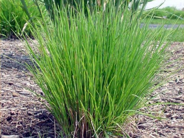 Blue Stem Grass Schizachyrium scoparium