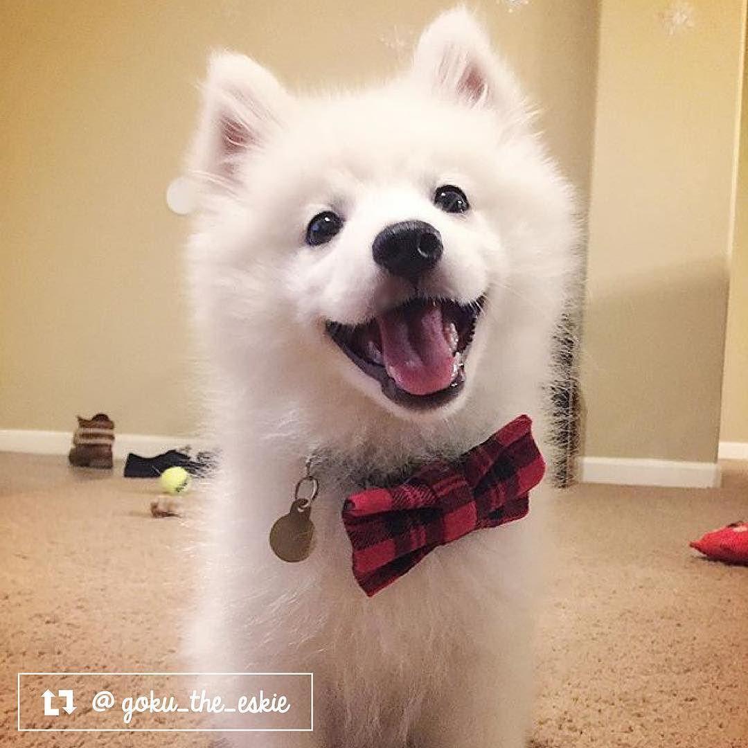 Goku The American Eskimo From Sacramento Ca American Eskimo Pup