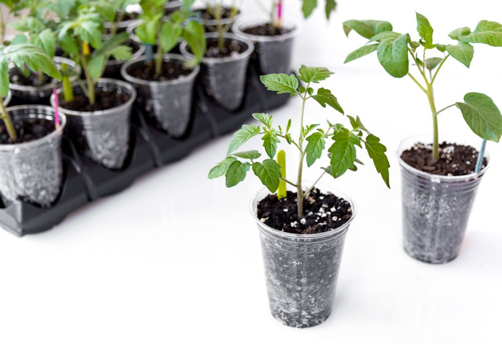 How to Transplant Tomato Seedlings Into Larger Pots (Plus