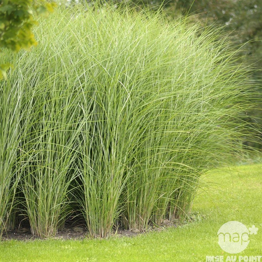 Plante de bassin : Miscanthus Variegatus 3L | Jardin et ...