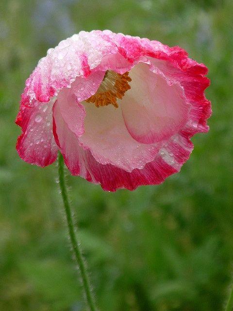 Pavot looks like a papery poppy type flower blooms pavot looks like a papery poppy type flower mightylinksfo