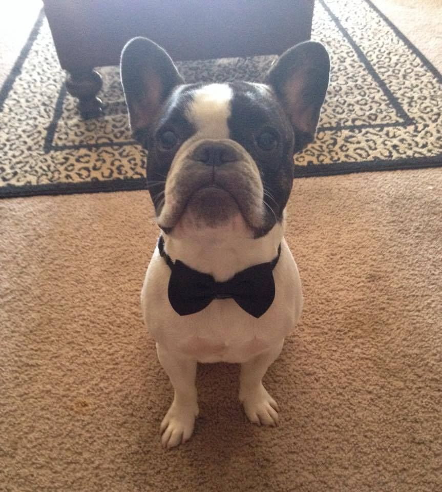 French Bulldog In A Bow Tie The Daily Frenchie French Bulldog Cute Animals Boston Terrier Puppy