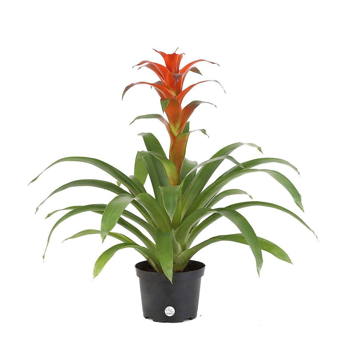 Amazon S Plants Store Has All Types Of Indoor And Outdoor Plants Indoor Flowering Plants Best Indoor Plants Low Light House Plants