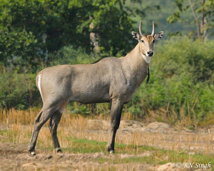 Nilgai or blue bull Pet birds, Animals, Cute animals