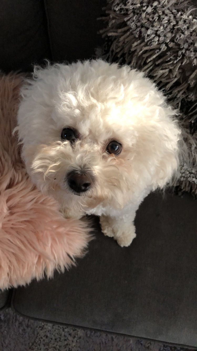 Lily 2018 Bichon frise, Puppies, Fluffy dogs