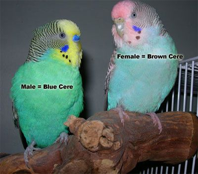 parakeet colors | Female Parakeet: brown cere, Male Parakeet: blue cere