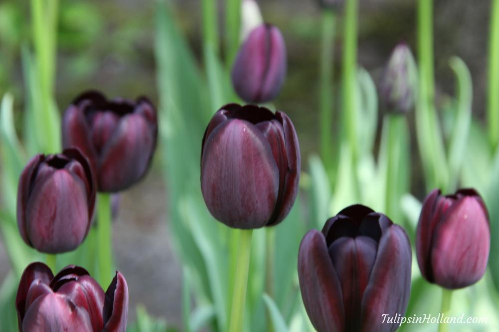 the dark purple tulip queen of night travel to the tulipsinholland