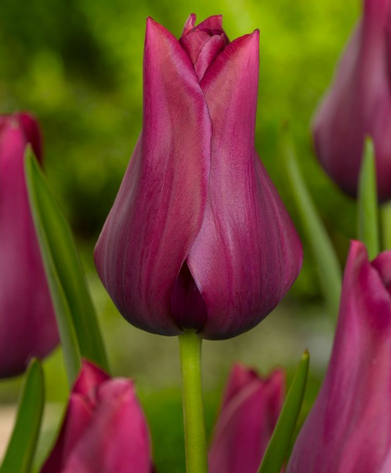 Lily Flowering Tulip Silver Ballade Tulipa K Van Bourgondien Tulip Bulbs Tulips Plant Flower Bulbs