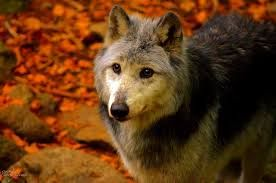 canadian wolf - Google Search