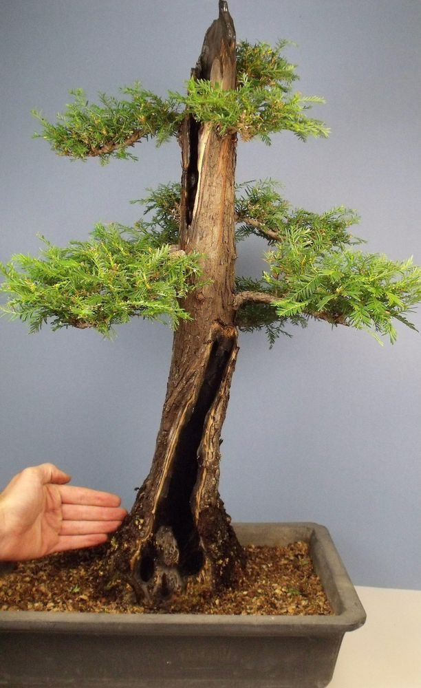 Specimen hollow trunk coast redwood bonsai tree true for Arboles hoja perenne jardin mediterraneo