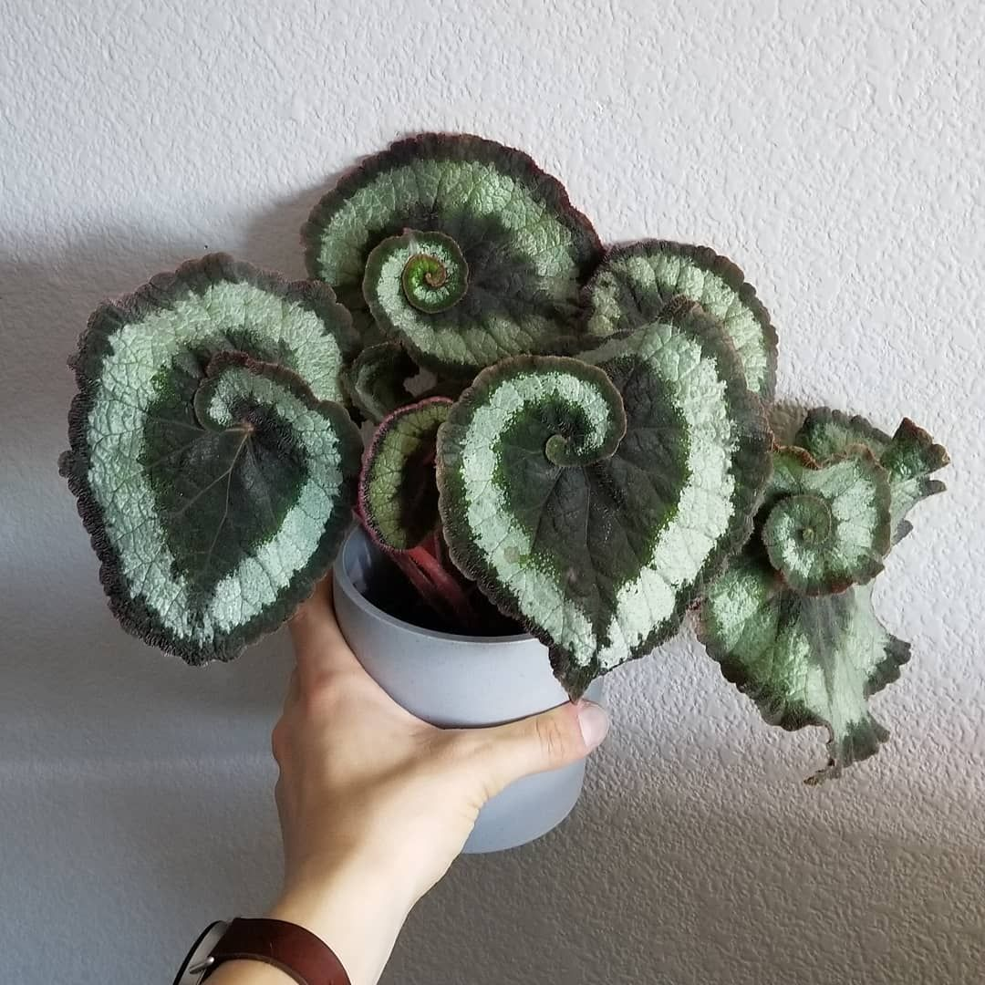 "@room for plants on Instagram ""I have this Begonia 'Escargot' for about half a year now and it doesn't grow fast but also not slow  However, it does sometimes grow leaves…"" is part of Plants - 17 2k Likes, 271 Comments  @room for plants on Instagram ""I have this Begonia 'Escargot' for about half a year now and it doesn't grow fast but also not…"""