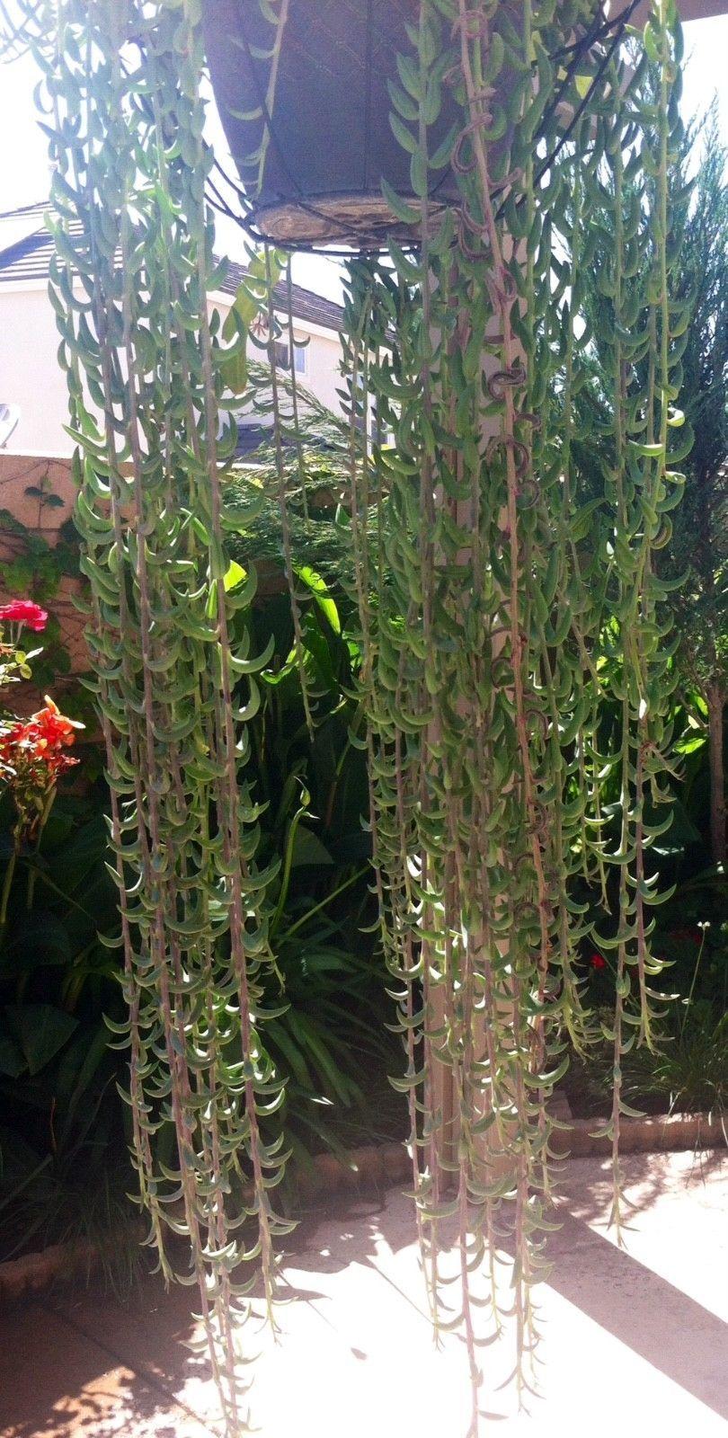 String of bananas trailing plant senecio radicans succulent