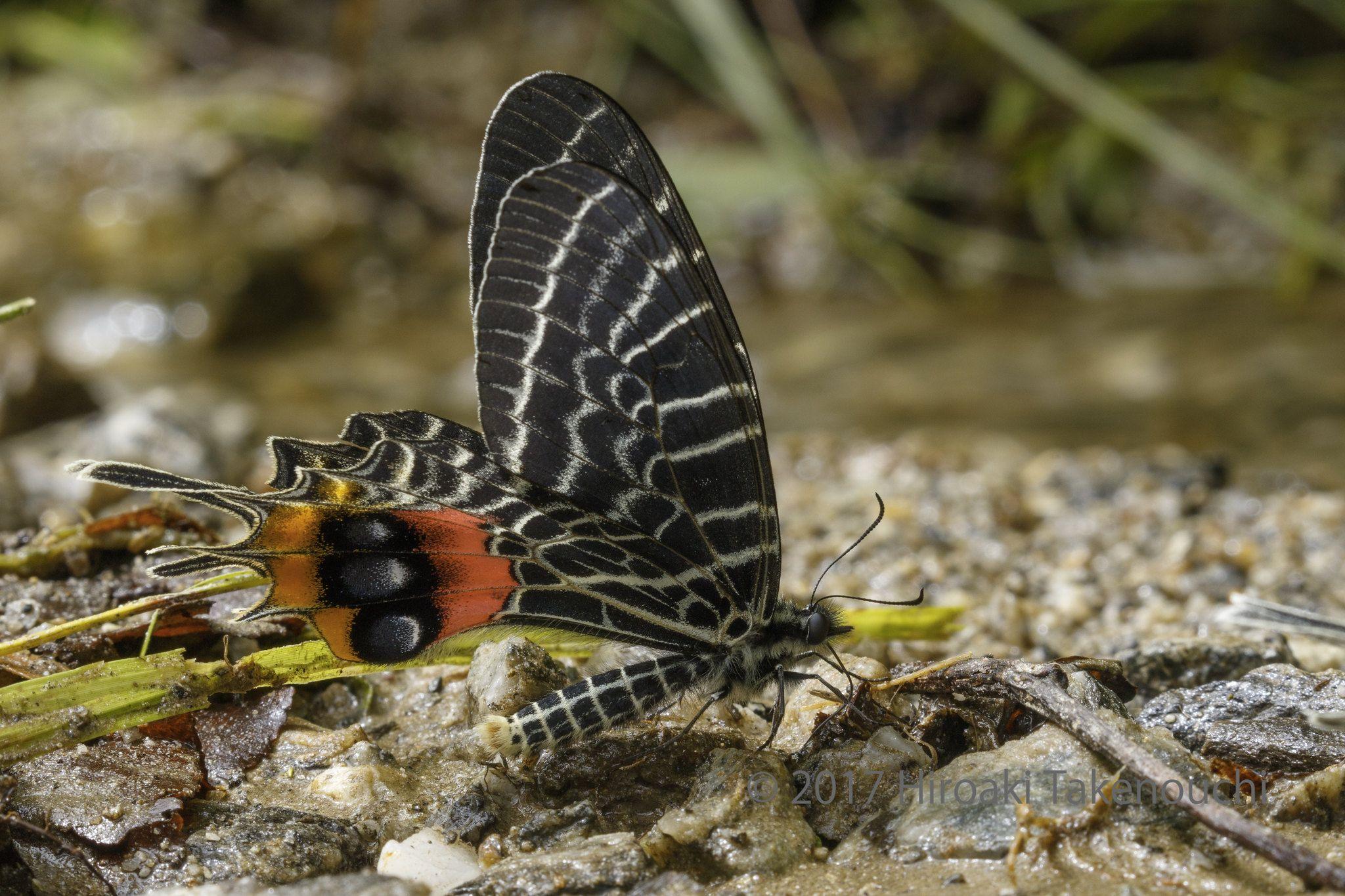 Bhutanitis lidderdalii シボリアゲハ Beautiful butterflies