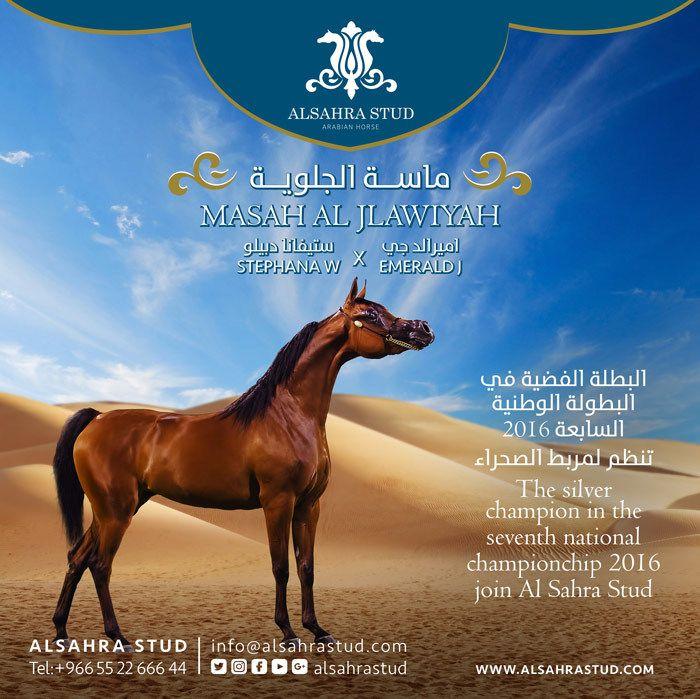 انتقال المهرة الماسة لمربط الصحراء Alsahrastud Arabian Horse Horses Poster