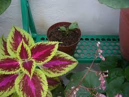 Resultado de imagen para plantas de hoja violeta o morada