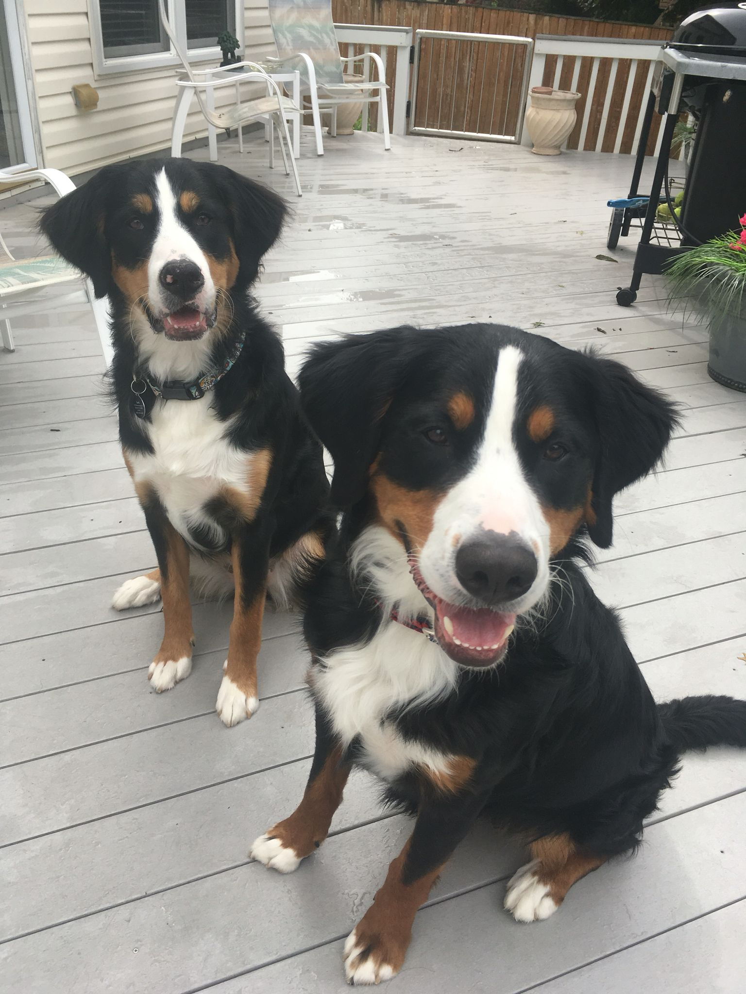 Gronk And Lodi Labernese Pups Labrador Mix Best Dogs For Families Dogs And Puppies