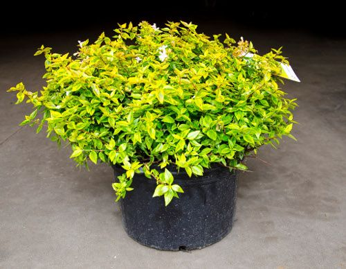 Kaleidoscope Abelia Morning Afternoon Sun All Day Sun Moist Soil H