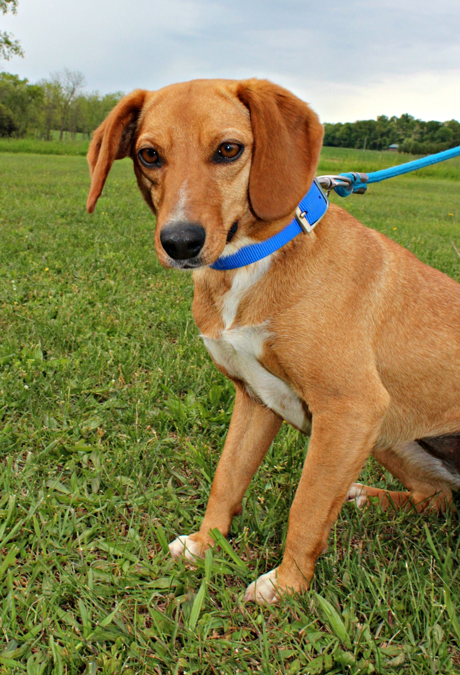 Doxle dog for adoption in dillsburg pa adn547024 on