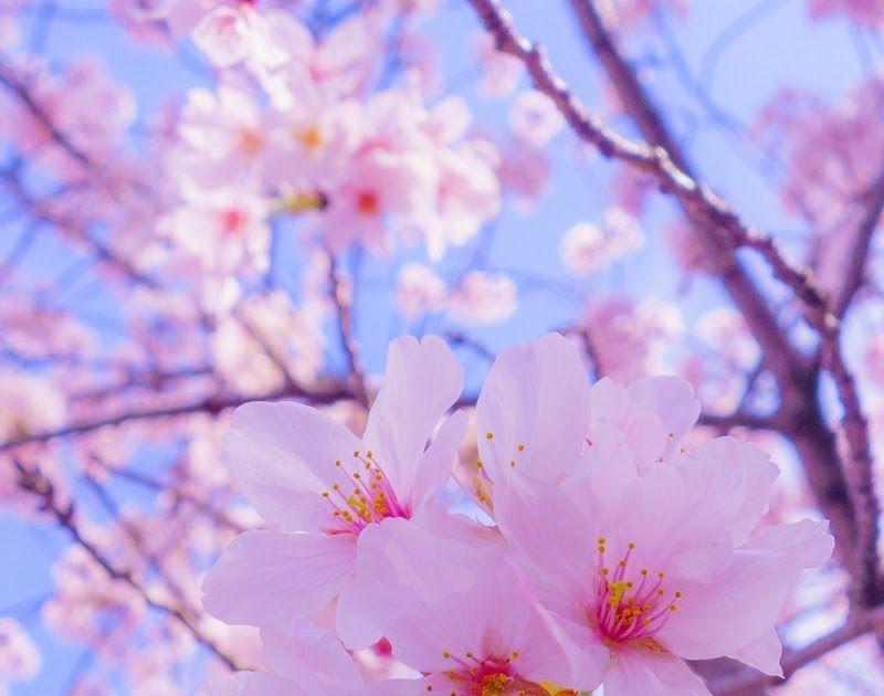 Menakjubkan 14 Gambar Lucu Bunga Sakura 28 Wallpaper Hd Keren Untuk Hp Android Gratis Musim Semi Tiba Saatnya Liburan Ke Wallpaper Bunga Bunga Sakura Bunga