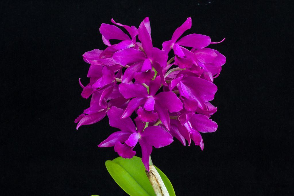 C bactia grape wax cattleya orchids wax