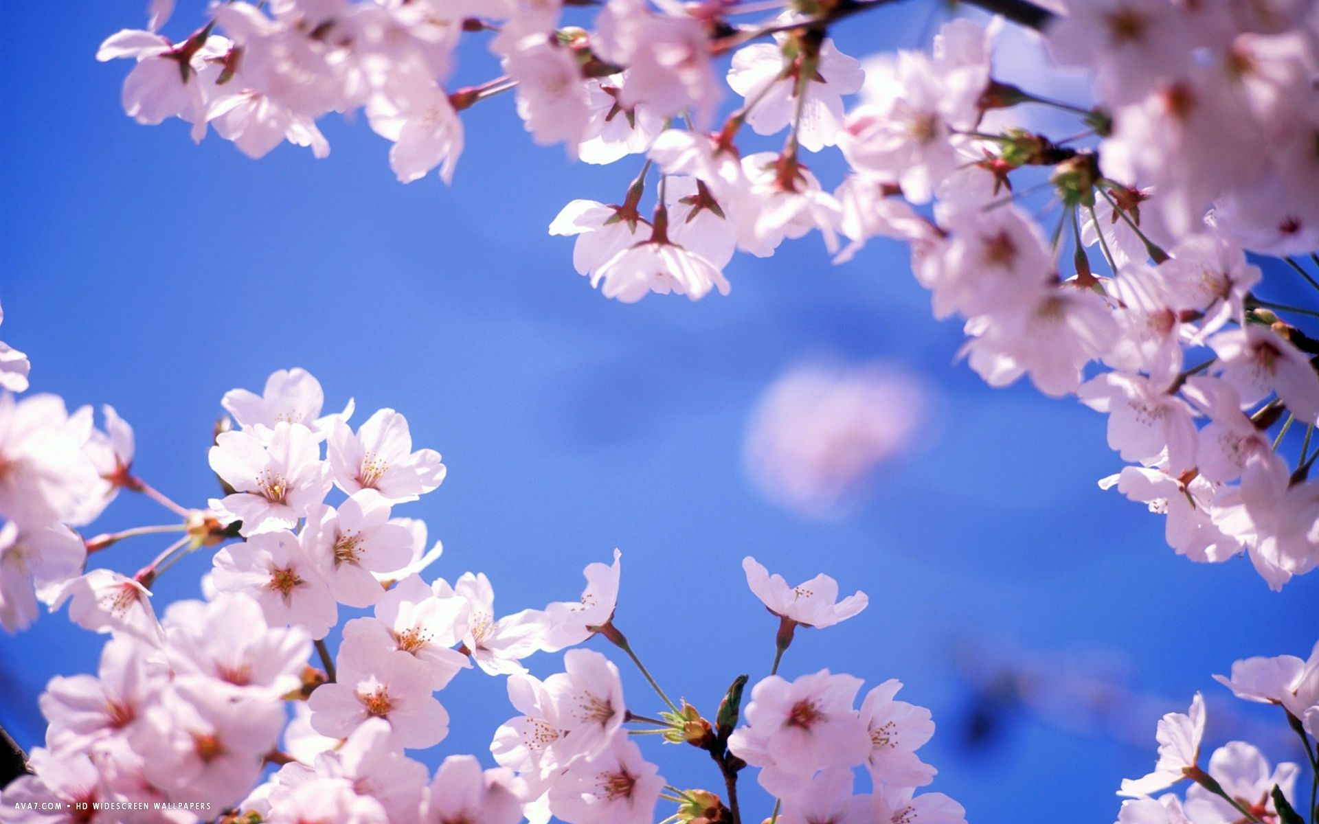 Cherry Blossom Background PowerPoint Backgrounds for