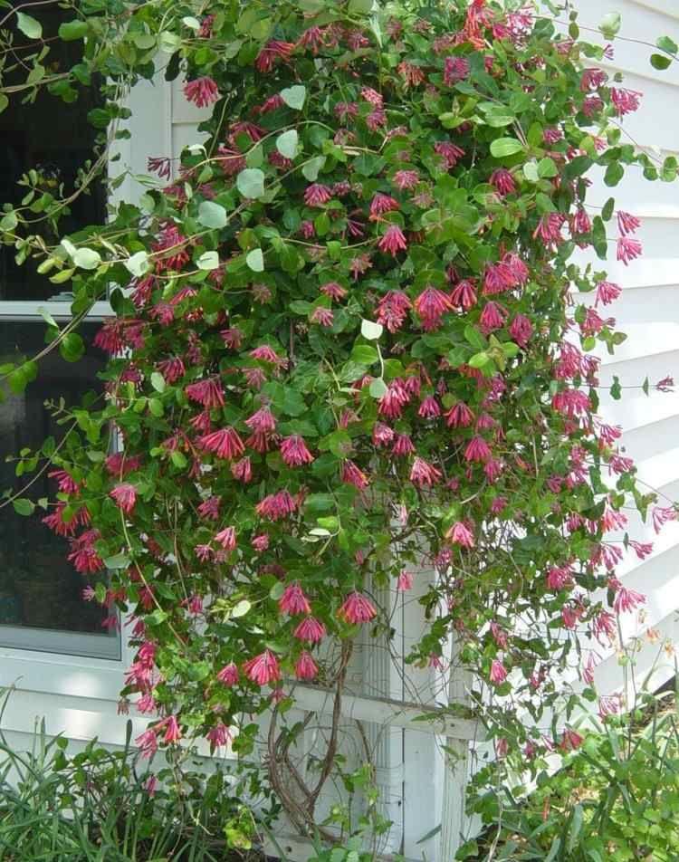 les plantes grimpantes les plus belles pour jardin et balcon du jardin au paysage pinterest. Black Bedroom Furniture Sets. Home Design Ideas