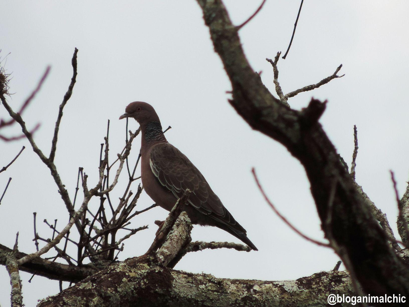 Pombão (Patagioenas picazuro) registrada em São José do Rio Pardo/SP, em Fevereiro/14.