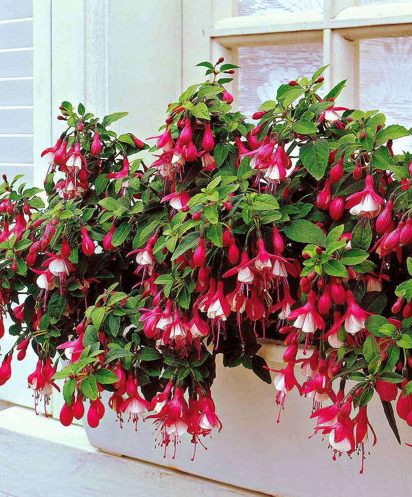Fucsie Lady Thumb Indoor Flowers Fuchsia Plant Fuchsia Flowers