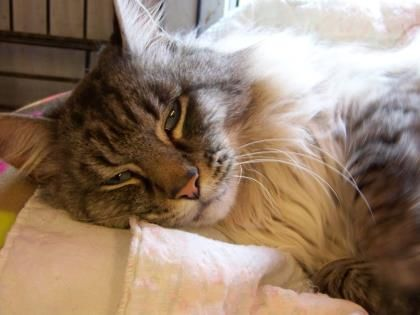 Meet Jester, a Petfinder adoptable Siamese Cat | Westville, IN | Jester is a beautiful longhair Siamese mix (Lynxpoint) with striking blue eyes, who was found as a...