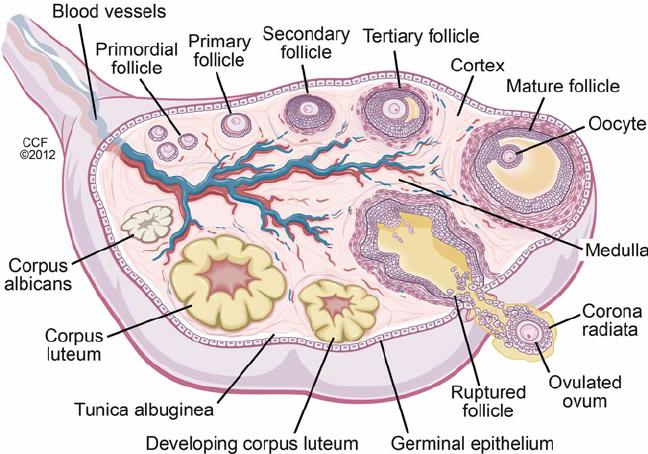 Pin by Nevina Dias on Anatomy | Corpus luteum, Human