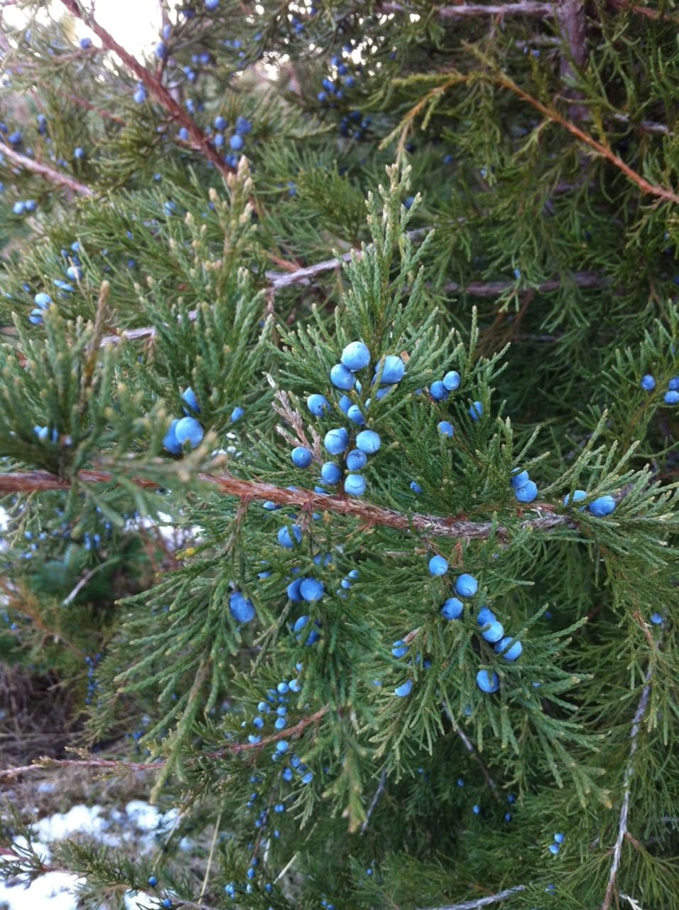 Blue Evergreen Berries Summers Christmas Tree Farm Middleton Wisconsin Christmas Tree Farm Tree Farms Summer Christmas