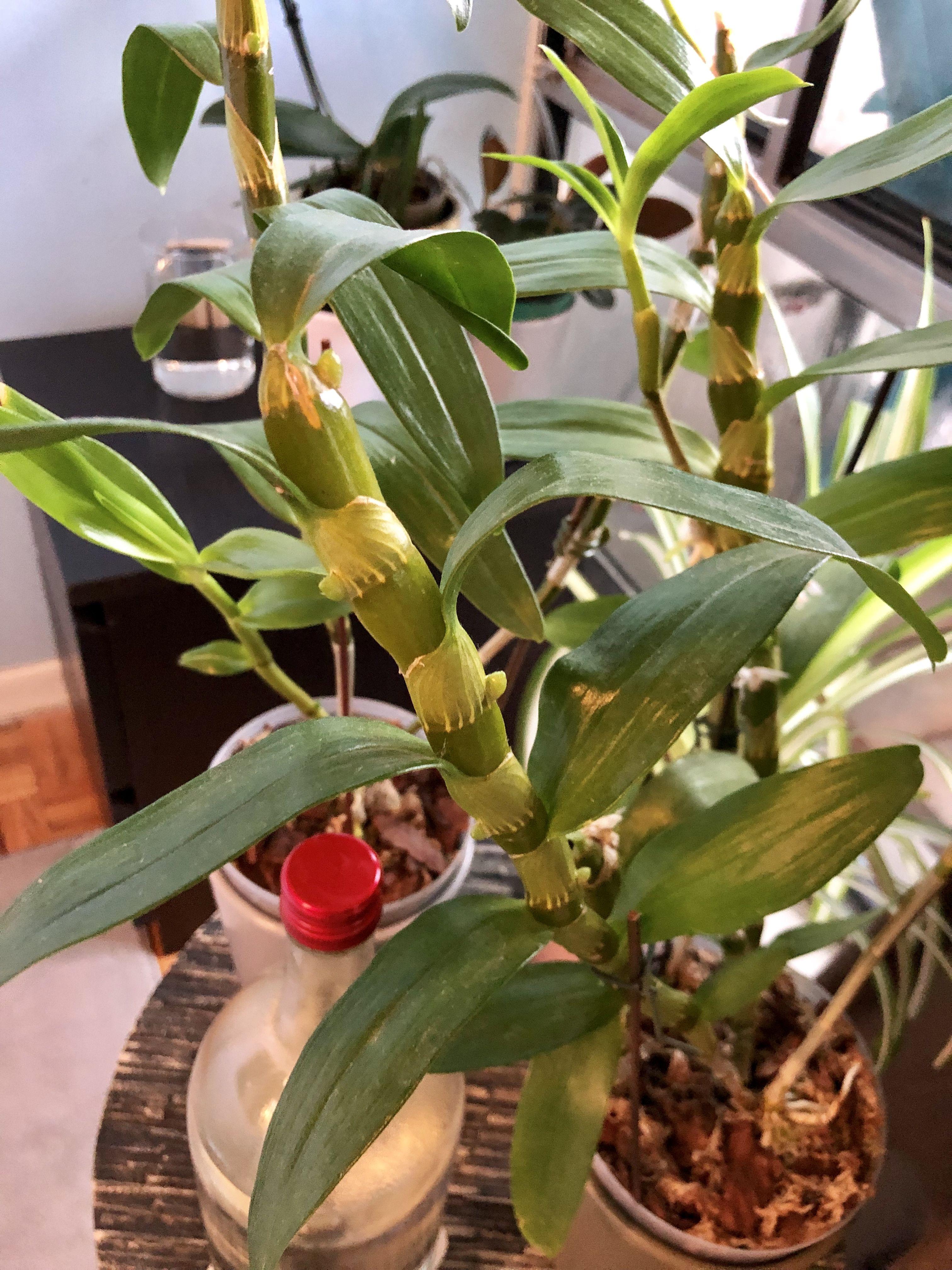 Dendrobium Nobile 1 06 21 2019 Dendrobium Orchids Dendrobium Nobile Orchids