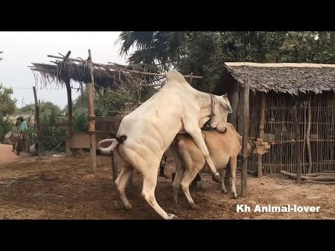 Bull And Cow Mating In Cambodia Wow Strong Ox Mating To