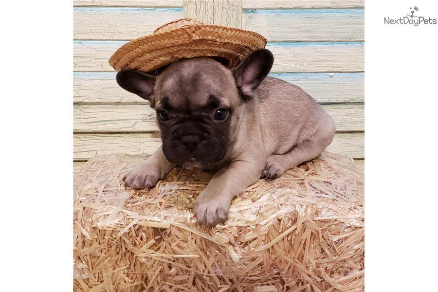 Simple Simon French Bulldog Puppy For Sale Near Houston Texas 9c9b5eca E131 French Bulldog French Bulldog Puppies Bulldog Puppies For Sale