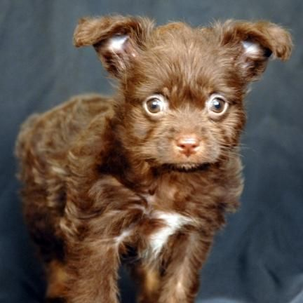 Adopt Chocolate Chip On Dogs Chocolate Labrador Retriever Poodle