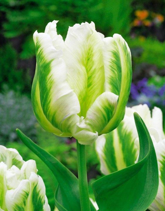 зеленые попугайные тюльпаны фото несколько видов