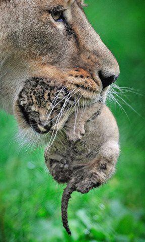 Newborn Baby Lion : newborn, Katrina, Baby?, Animals, Beautiful,, Animals,