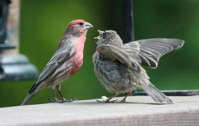 Male House Finch feeding young -