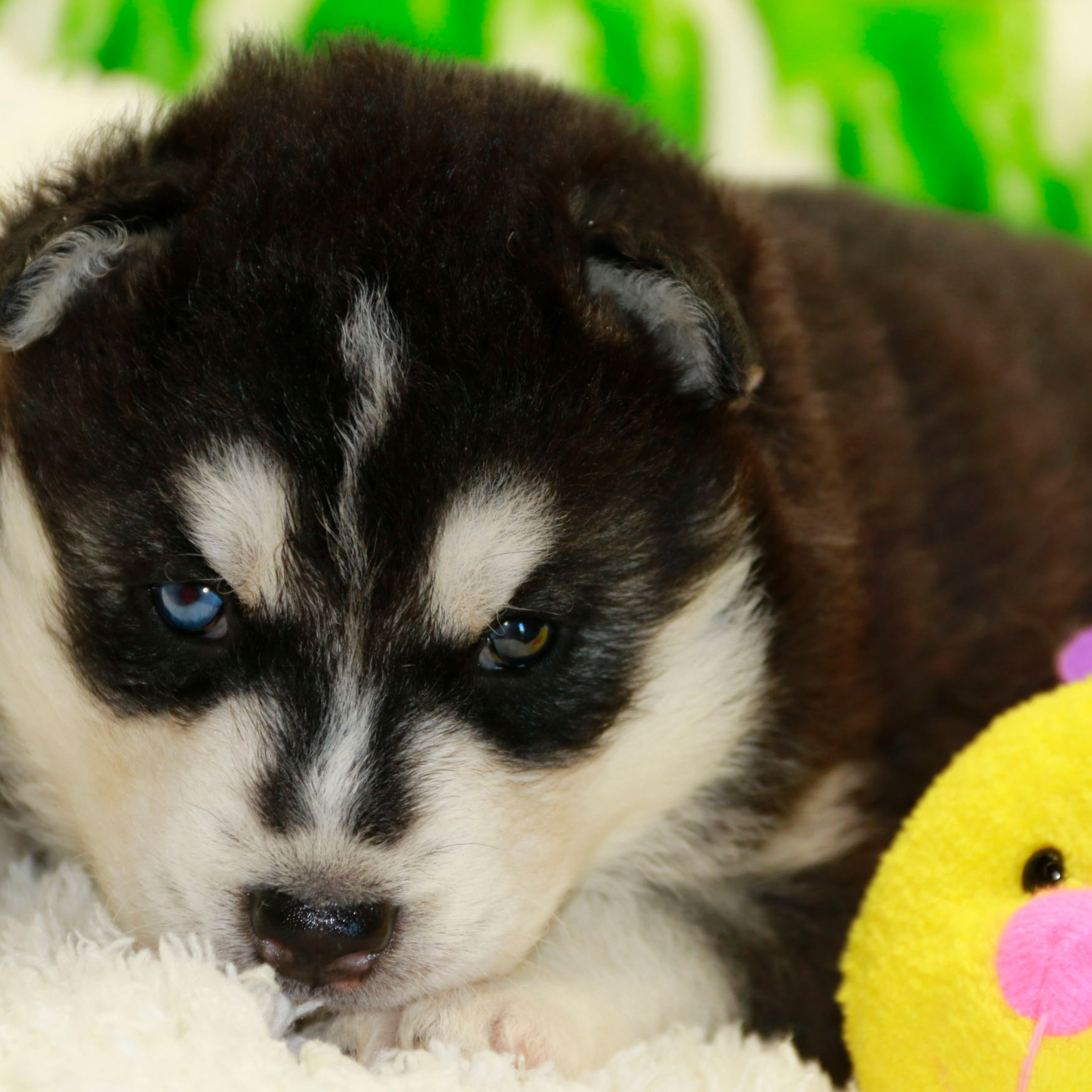 Siberian Husky Puppies With Two Different Eyes Siberian Husky