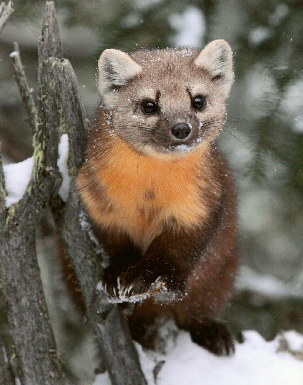 Pine Marten (c) Dan Hartman Rare animals, Animals