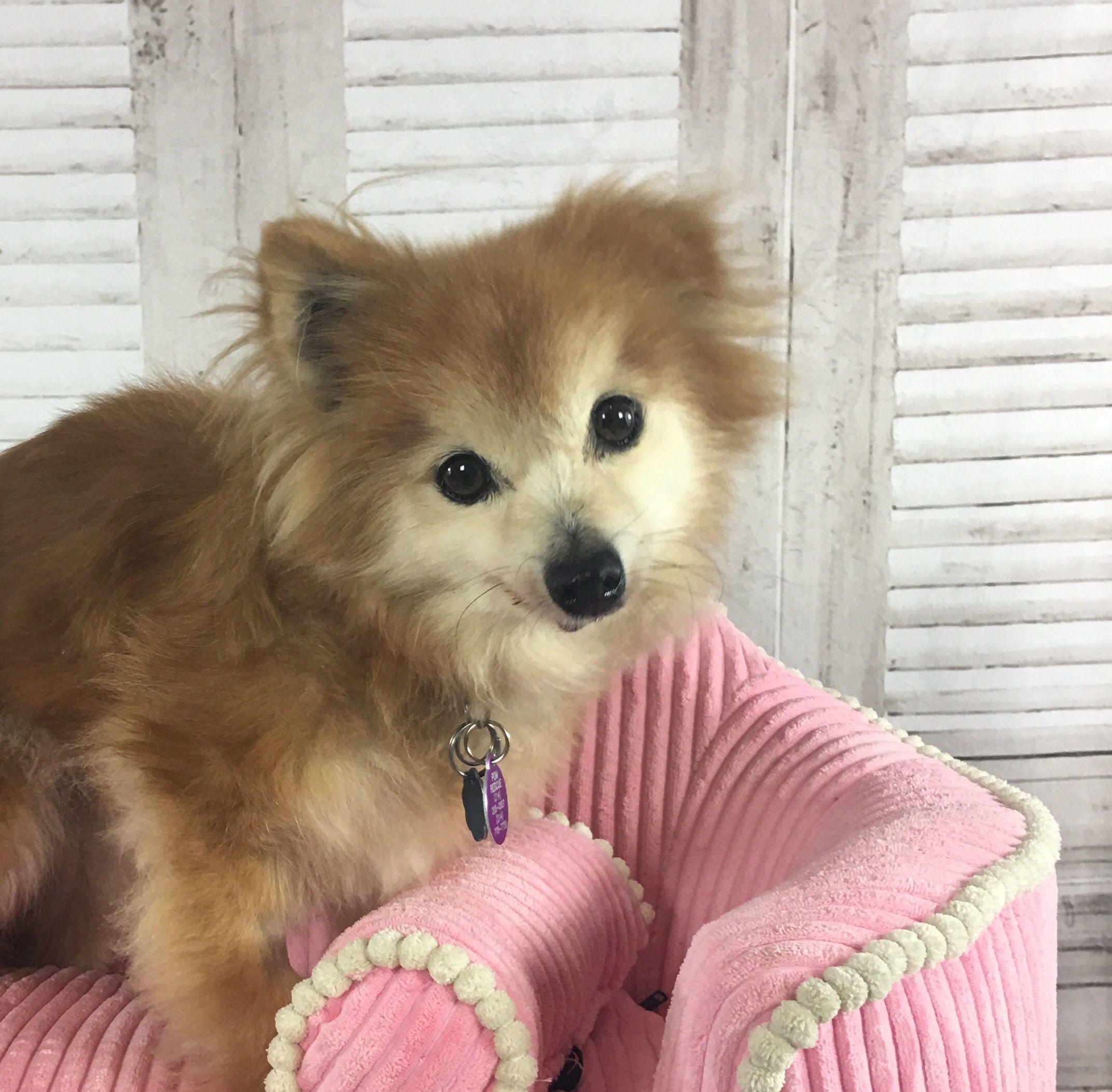 Pomeranian Dog For Adoption In Garland Tx Adn 695024 On Puppyfinder Com Gender Female Age Senio Pomeranian Dog For Pomeranian Dog Dog Trends Dog Adoption