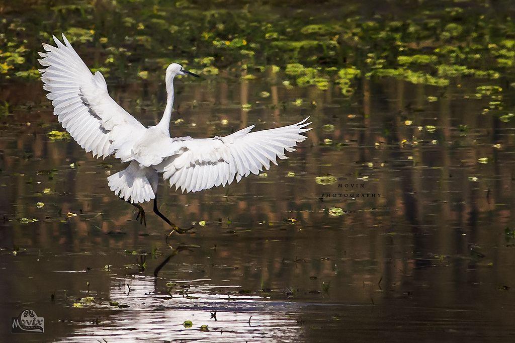 ...Little Egret... | par Movin Photography