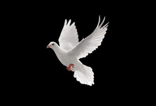 Uitzonderlijk Duif staat symbool voor vrijheid die Freio wil. | Hobby/Vrije tijd #YB95