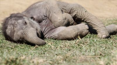 Baby Elephant In China Cries For 5 Hours After Being Stomped By
