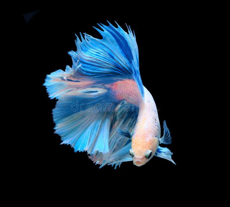 Photo About White And Blue Siamese Fighting Fish Betta Fish Isolated On Black Background Image Of Fire Blu Betta Fish Types Siamese Fighting Fish Betta Fish Betta fish wallpaper gif cat with
