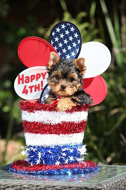 Pin By Terry Van Kirk On Yorkies And Other Cute Animals Yorkie Puppy Yorkie Patriotic Pets