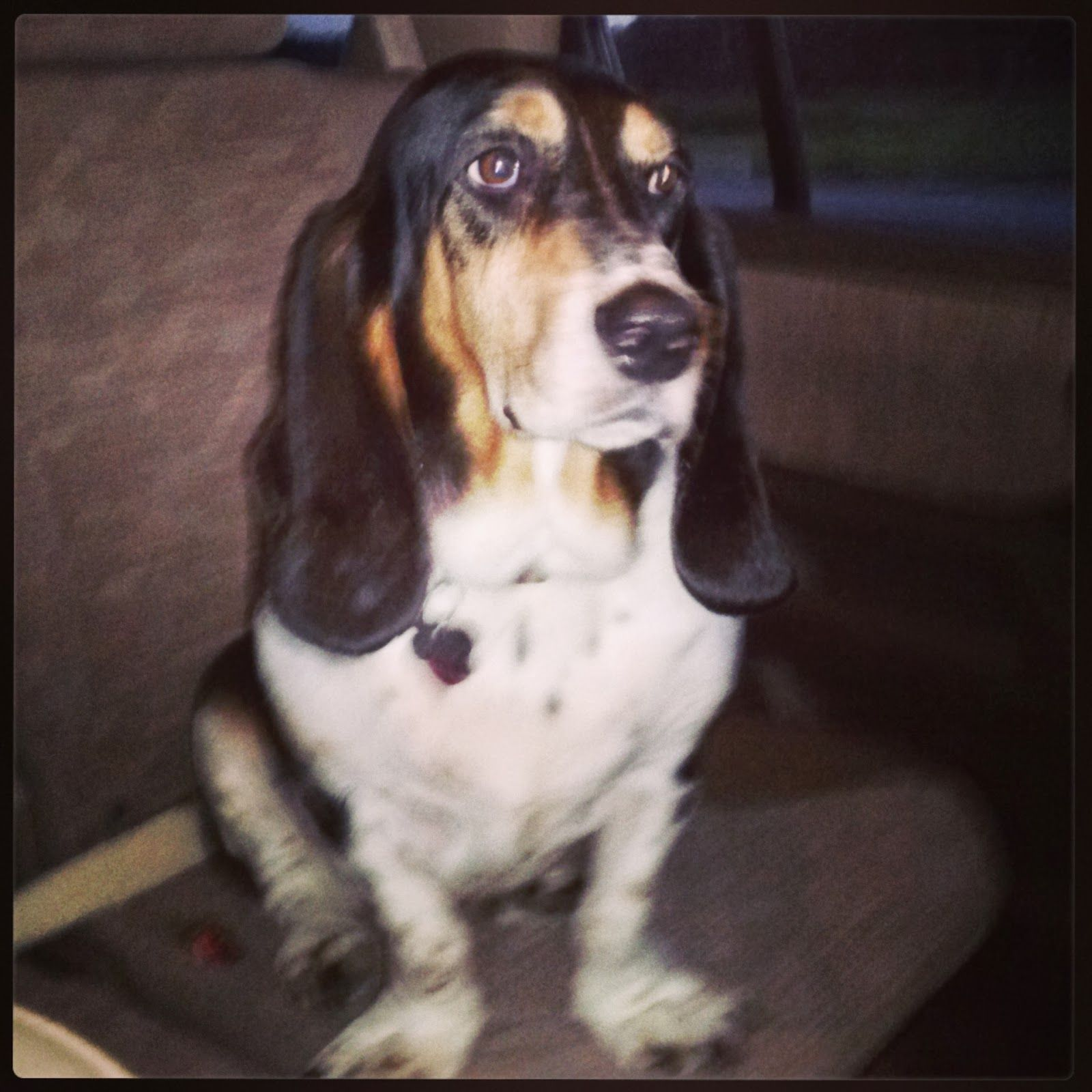 Dixie was featured on Total Basset Case!! Floyd's Friends : What's Dixie Doing?