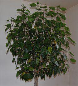 photo d 39 hibiscus d 39 int rieur avant la taille plantes. Black Bedroom Furniture Sets. Home Design Ideas